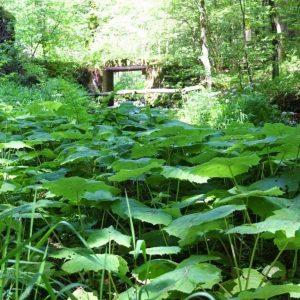 Bach mit Brücke und grünem Pechwurz