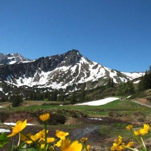 Schneebedecktes Fellhorn mit gelben Dotterblumen im Vordergrund