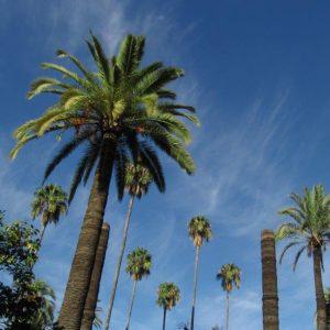 Palmen im Parque Maria Luisa