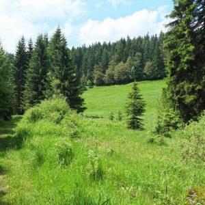 Grüne Waldwiese