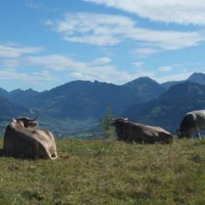 Allgäuer Milchkühe auf Bergwiese und mit Bergpanorama
