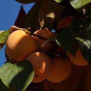 Kaki-Früchte am Baum