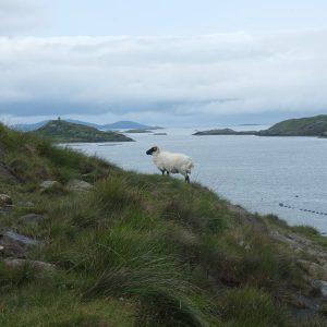Schaf am Fjord