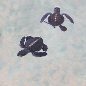 Baby-Schildkröten im Wasser