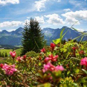 Alpenrosen vor Bergkulisse