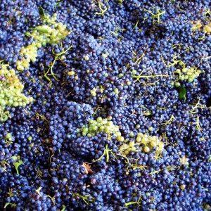 Frisch gepflückte Weintrauben