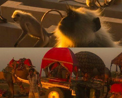 Foto-Collage aus einem Foto mit Tempelaffen und einem Foto mit Kamelkarren in der Wüste