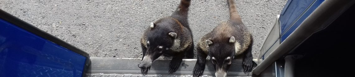 Zwei Nasenbären versuchen in unseren Reisebus zusteigen