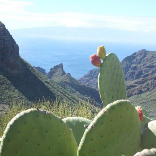 Opuntien mit Kaktusfeigen im Vordergrund. Grüne berge und blaues Meer im Hintergrund