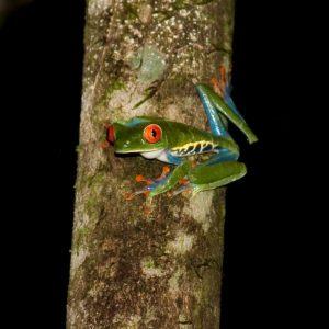 Ein costa-ricanischer Laubfrosch mit großen roten Augen