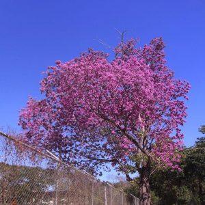 Ein ros blühender Tropenbaum