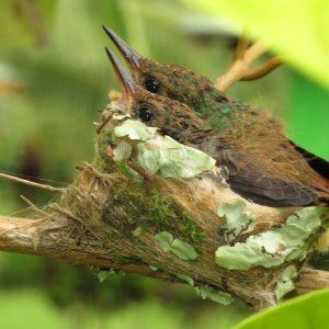 Vogelnest mit Jungvögeln