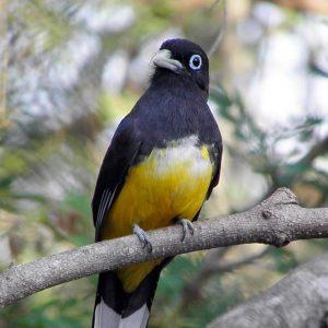 Ein gelb-schwarzer Vogel sitzt auf einem Ast und betrachtet uns