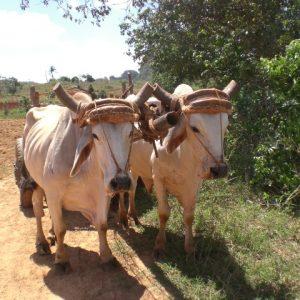 Zwei Ochsen vor ihrem Karren