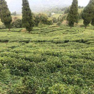 Teeplantage in Terrassen angelegt