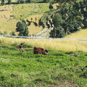 Ein Bauer pflügt sein Terrassenfeld