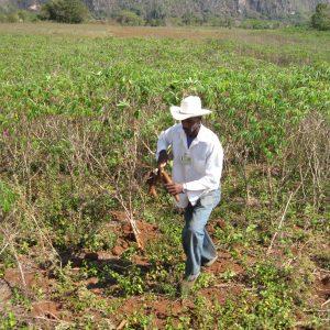 Ein Bauer mit großem Strohhut pflückt eine Malanga-Wurzel