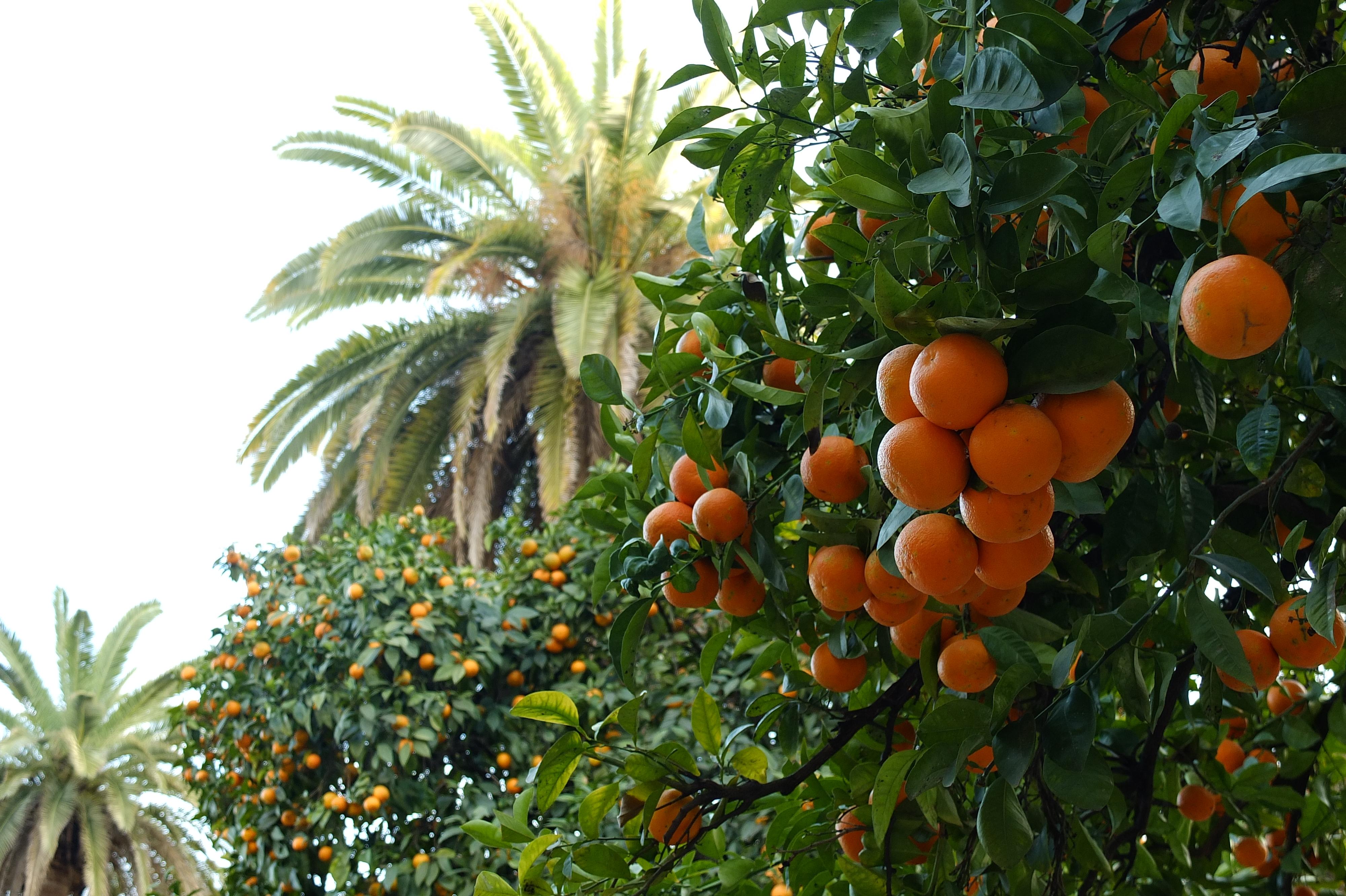 Orangen- und Palmbäume in Sevilla