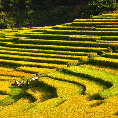 Reife Reisterassen mit erntenden Bauern