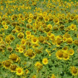 Sommerlandschaft mit Sonnenblumen